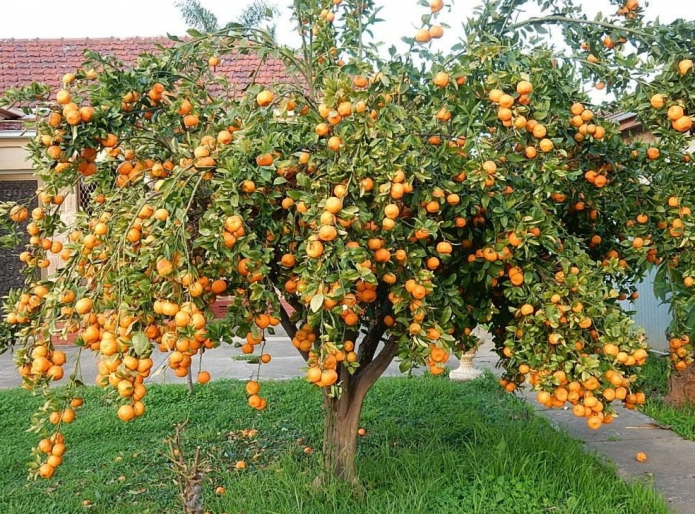 Мандариновое дерево в саду