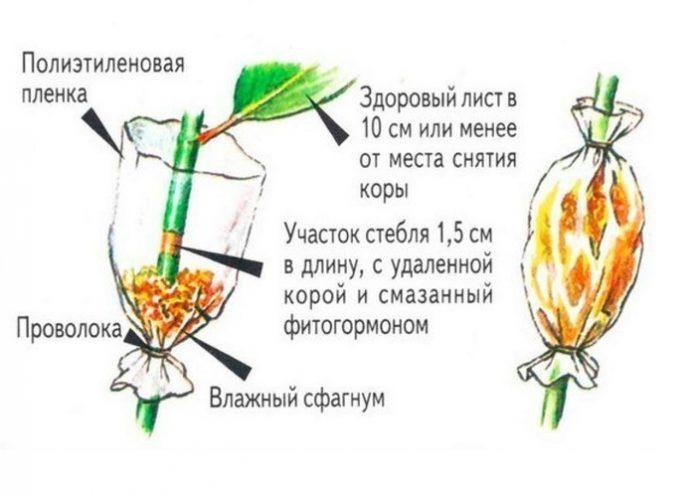 Подготовка отводка мандарина