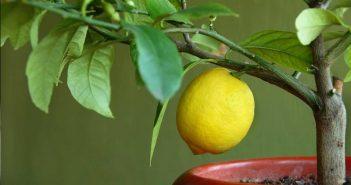 лимон в кадке