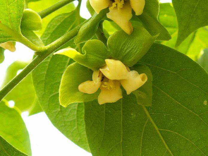 Цветки хурмы
