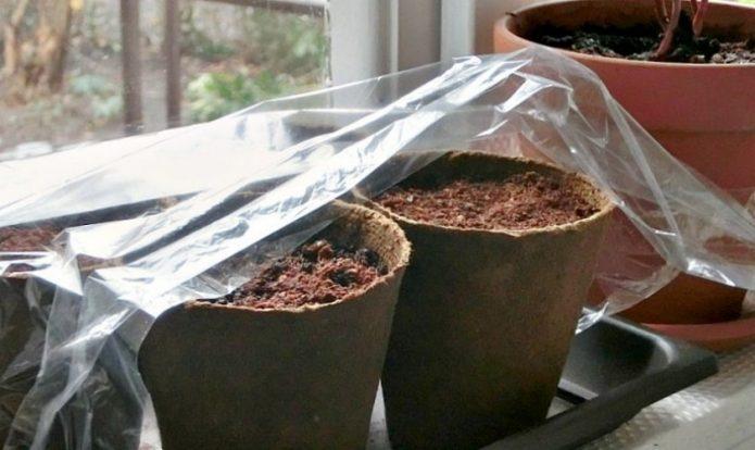 «Парник» для горшочков с семенами манго