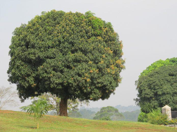 Манго в природе