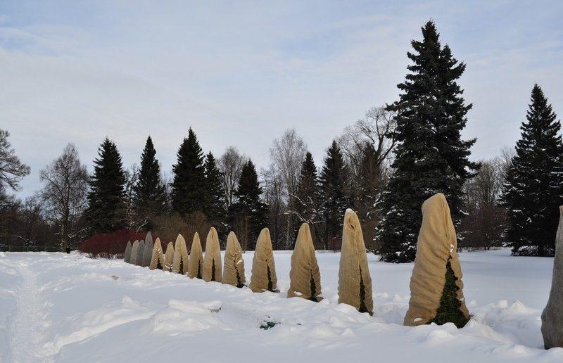 хвойники зимой