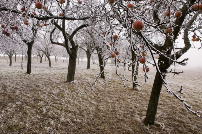 Яблони зимой