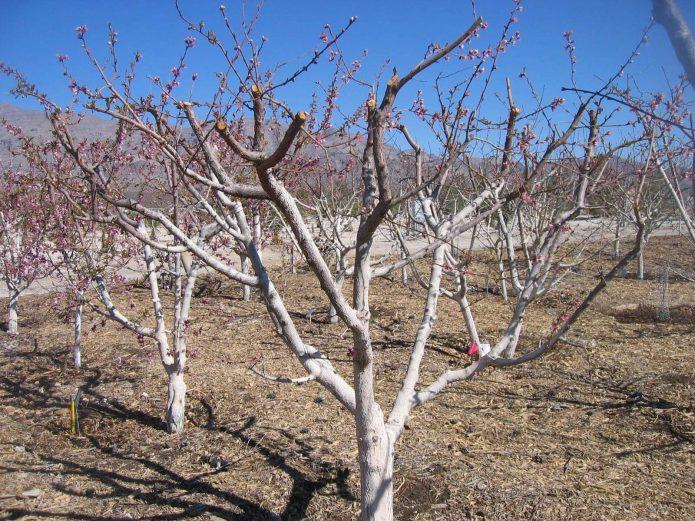 Яблоня, сбросившая листву