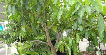 Манговое дерево в горшке