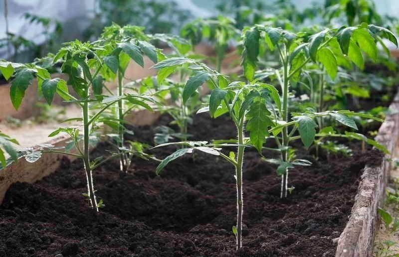 способы посадки томатов в теплице
