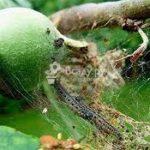 Вредители яблони и борьба с ними, уход весной + фото