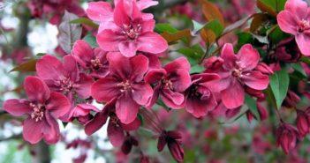 Декоративная яблоня