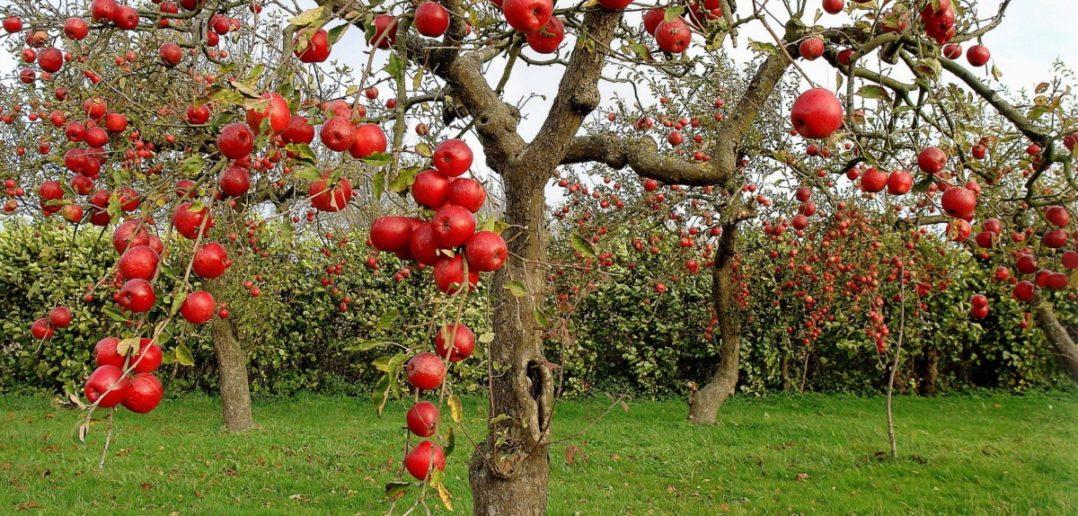 Обрезка старых яблонь, в том числе весной: как обрезать правильно?