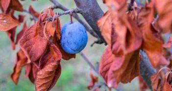Как ухаживать за сливой, в том числе весной или осенью, размножение черенками, как избавиться от поросли, описание выращивания и прочий уход