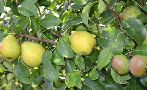 Прививка груши на яблоню