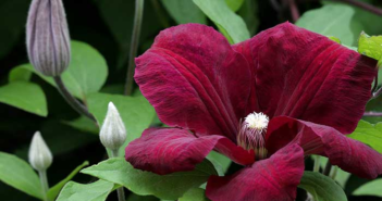 Клематис Кардинал Вышинский — фото и описание сорта, группа обрезки, особенности выращивания