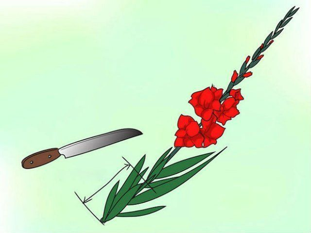 Срезка гладиолусов