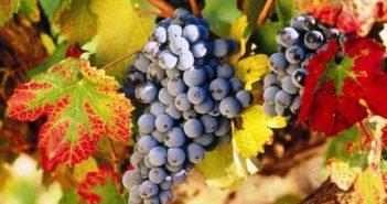 Уход за виноградом осенью и подготовка к зиме
