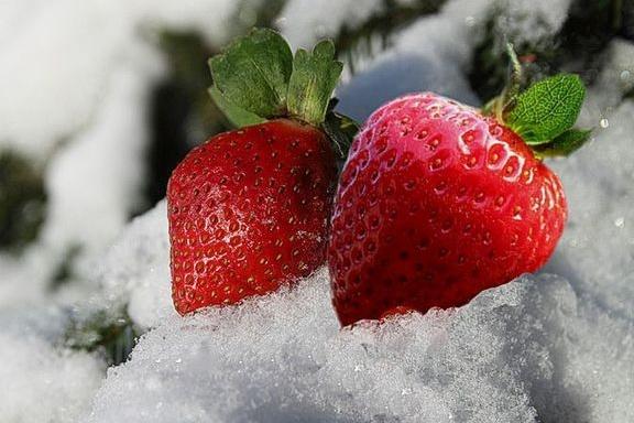 Как укрыть клубнику на зиму: чем лучше, правила и сроки укрытия