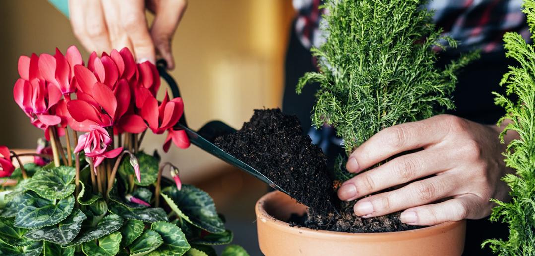 Какие комнатные растения осенью пересаживают