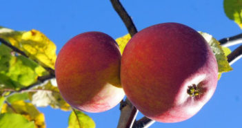 Как правильно посадить яблоню осенью — сроки посадки, правила, инструкции