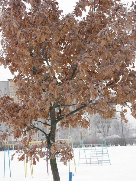 Дерево в листьях зимой